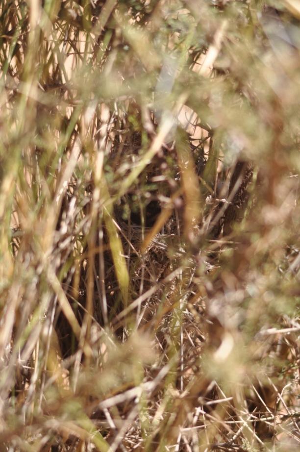 Cricket Warbler nest at Oued Jenna, Aousserd, 3 February 2010 (Fabian Schneider)
