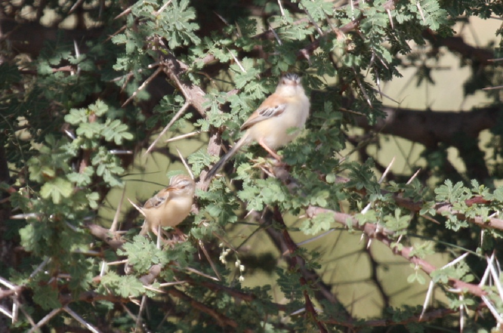 Adult Cricket Warbler (Spiloptila clamans) with recently fledged juvenile at Oued Jenna, Aousserd, 25 October 2010 (Mohamed Radi)