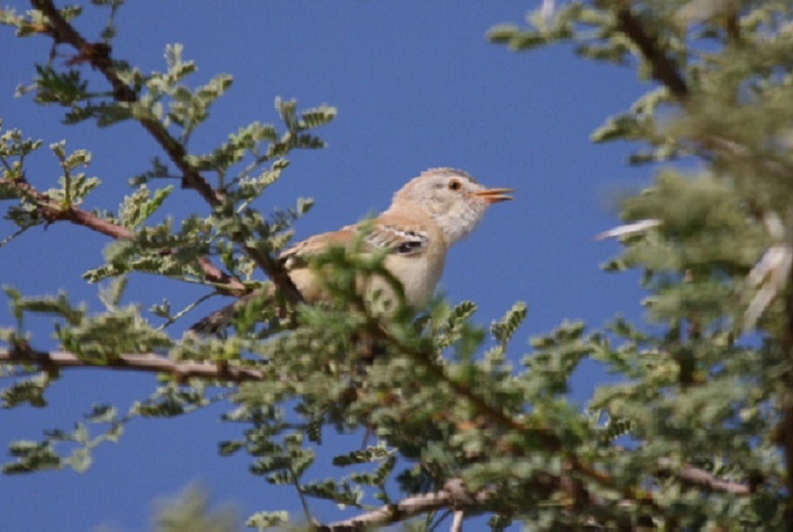 Recently fledged juvenile Cricket Warbler at Oued Jenna, Aousserd, 25 October 2010 (Mohamed Radi)