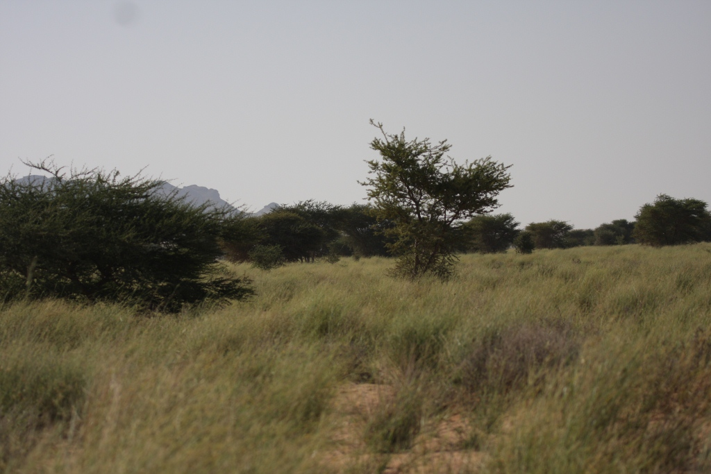 The breeding habitat of Cricket Warblers at Oued Jenna, Aousserd, 26 October 2010 (Mohamed Amezian)