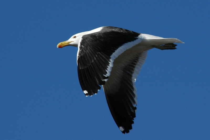 Cape Gull (Larus dominicanus vetula), Khnifiss Lagoon, Morocco (Lars Andersen)