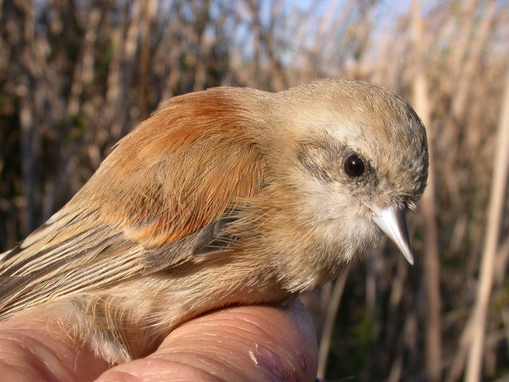 Eurasian Penduline Tit (Remiz pendulinus) ringed at Smir marshes, northern Morocco, 13 November 2006 (Ian Thompson).