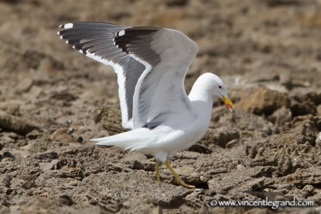 Apparent hybrid gull, Khnifiss Lagoon, Southern Morocco, 19 March 2011 (Vincent Legrand)
