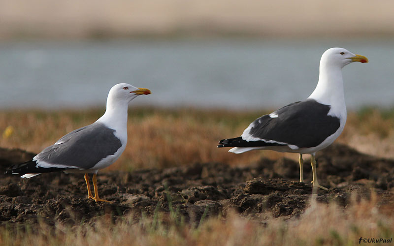 Apparent hybrid gull 2 compared with Yellow-legged Gull, Khnifiss Lagoon, Morocco, 21 March 2011 (Uku Paal).