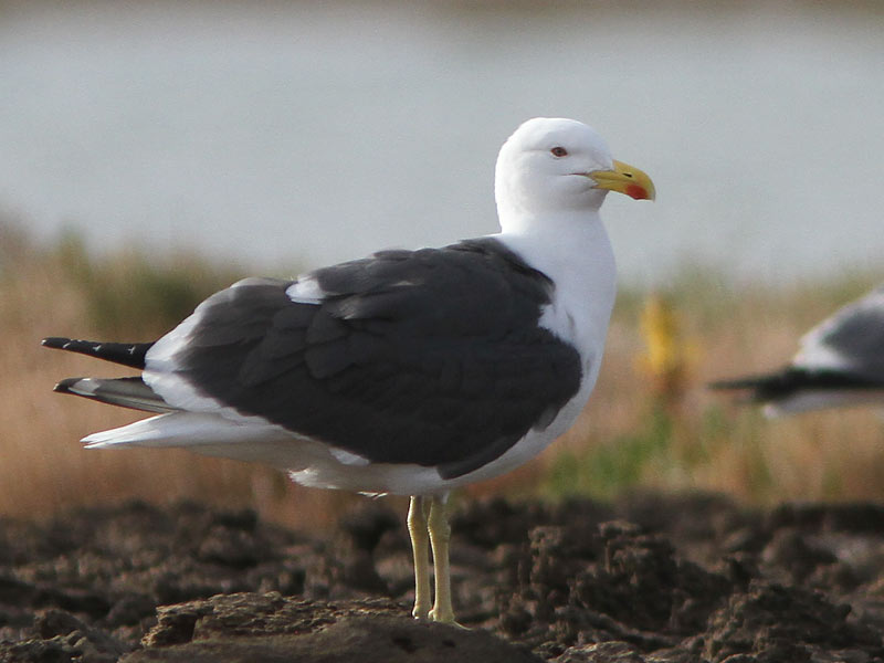 Apparent hybrid gull 2, Khnifiss Lagoon, Morocco, 21 March 2011 (Uku Paal).
