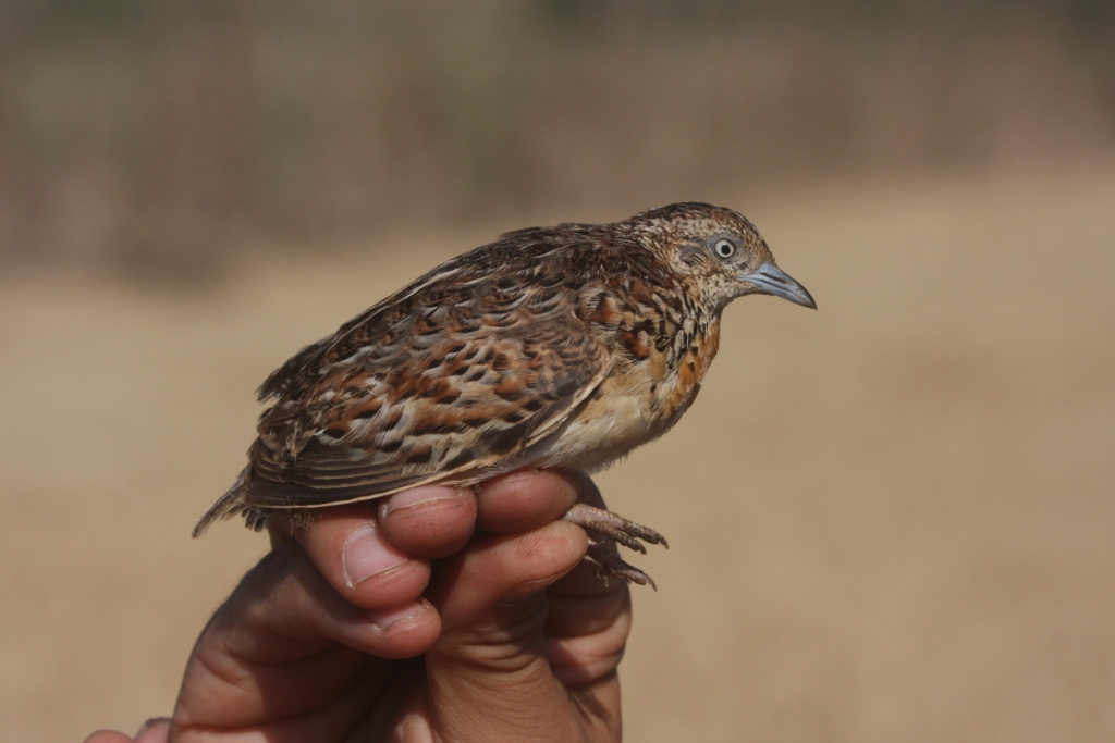 Andalusian Buttonquail / Turnix d'Andalousie (Turnix sylvaticus sylvaticus), Doukkala region, Morocco. (Mohamed Radi)