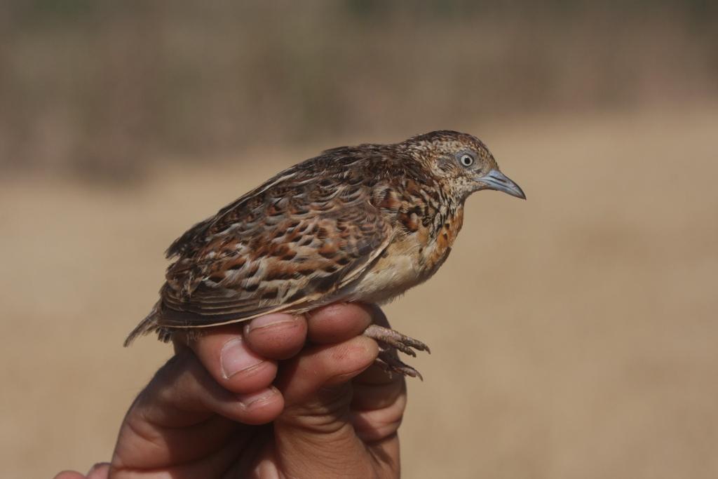 Andalusian Buttonquail / Turnix d'Andalousie (Turnix sylvaticus sylvaticus), Doukkala region, Morocco. (Mohamed Radi)