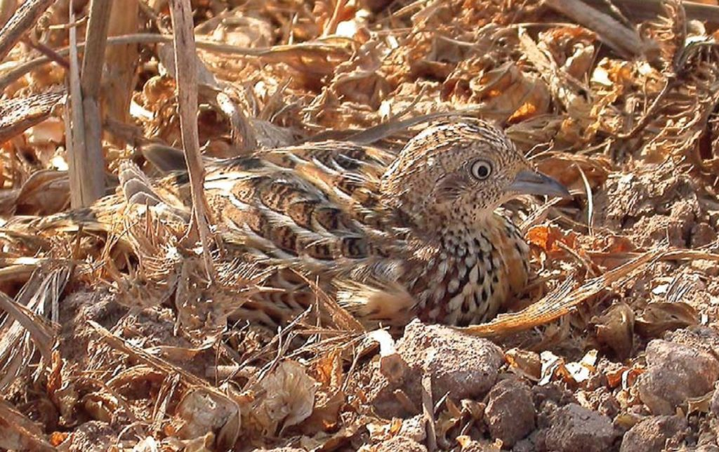 Andalusian Buttonquail (Turnix sylvaticus sylvaticus), south of Sidi Abed, September 2007 (Benoît Maire)