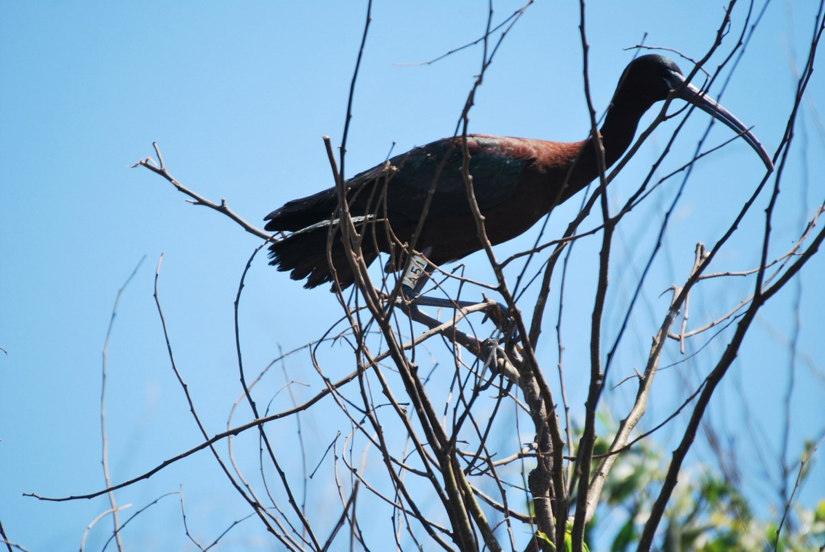 Glossy Ibis ringed in Camargue, France breeding at Smir heronry, northern Morocco