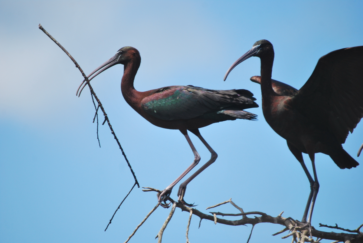 Breeding of Glossy Ibis (Plegadis falcinellus) at Smir heronry, northern Morocco