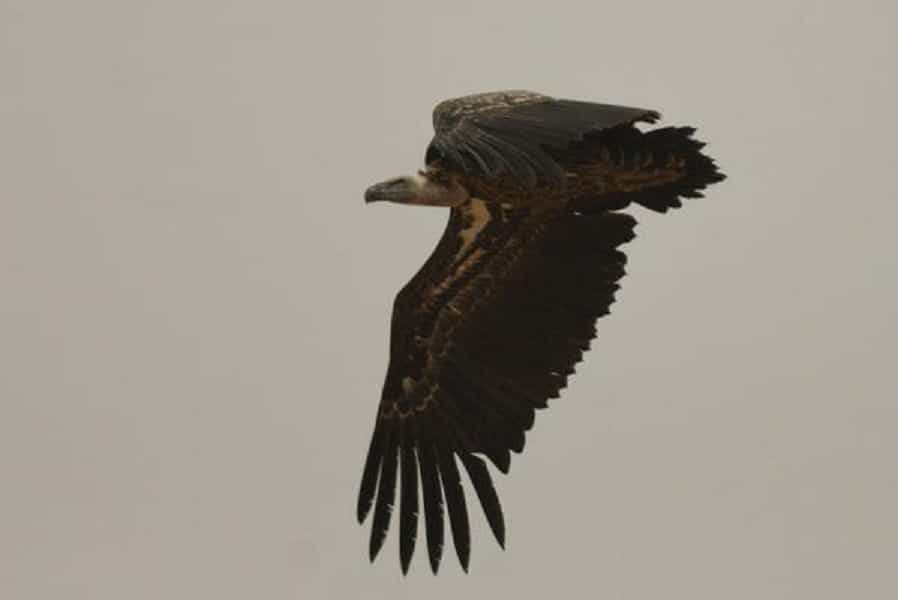 Rüppell's Vulture at Aousserd, Western Sahara, southern Morocco, 1 Aug. 2011 (Michel Aymerich).