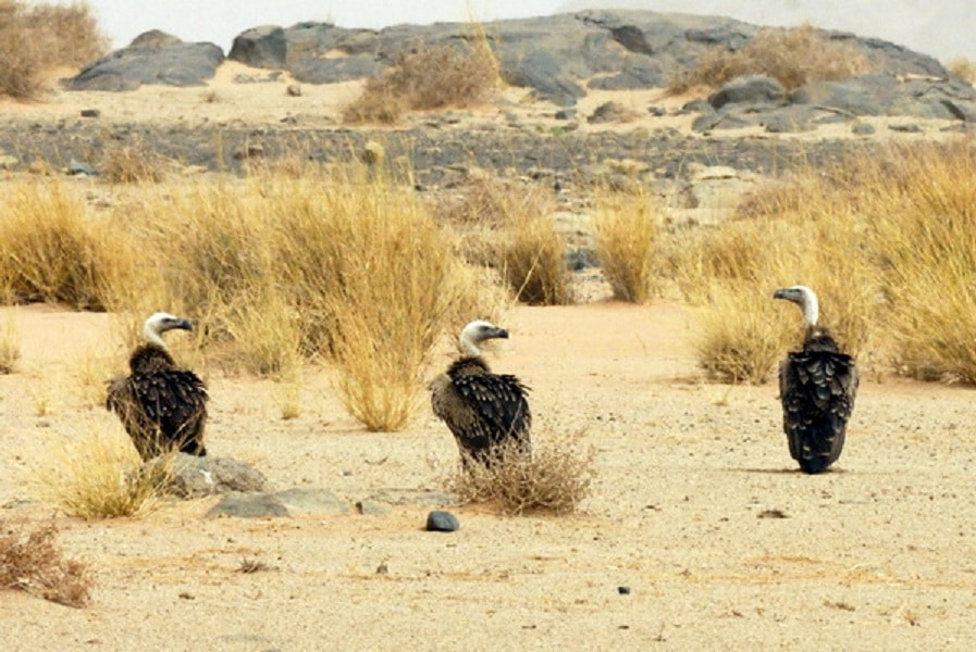 Rüppell's Vultures (Gyps rueppelli), Aousserd, Western Sahara, southern Morocco, 1 Aug. 2011 (Michel Aymerich).