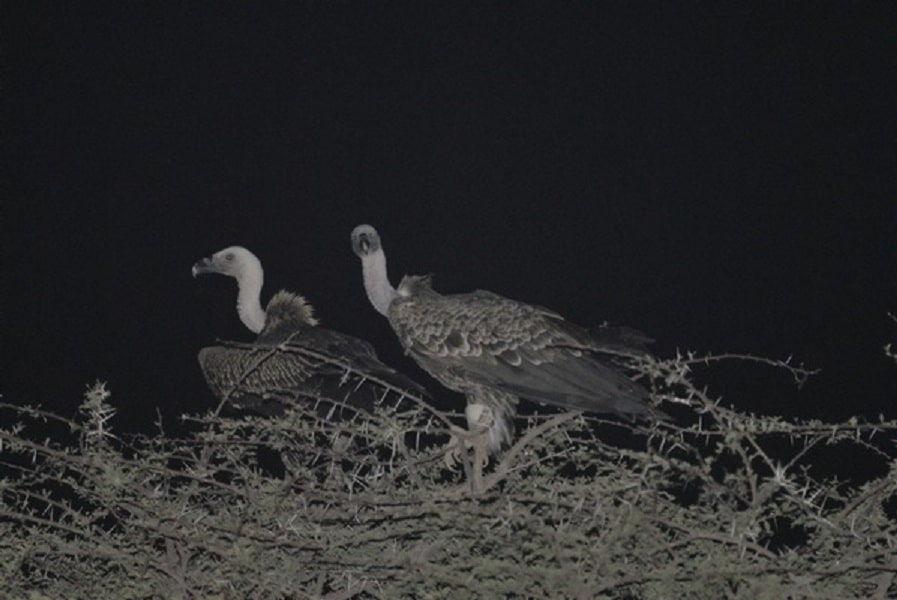 Rüppell's Vultures roosting on an Acacia tree at night, Aousserd, Western Sahara, southern Morocco, 1 Aug. 2011 (Michel Aymerich).