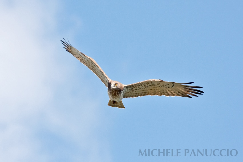 Short-toed Snake Eagle (Circaetus gallicus) by Michele Panuccio