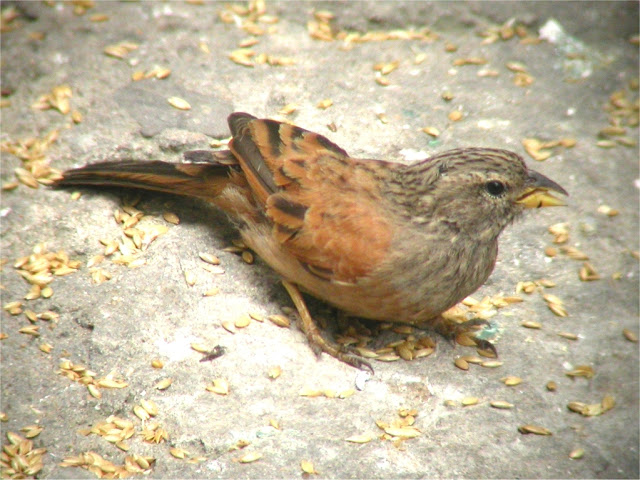 House Bunting (Emberiza sahari) feeding on seeds, Medina of Tangier, 26 May 2006 (Ian Thompson)
