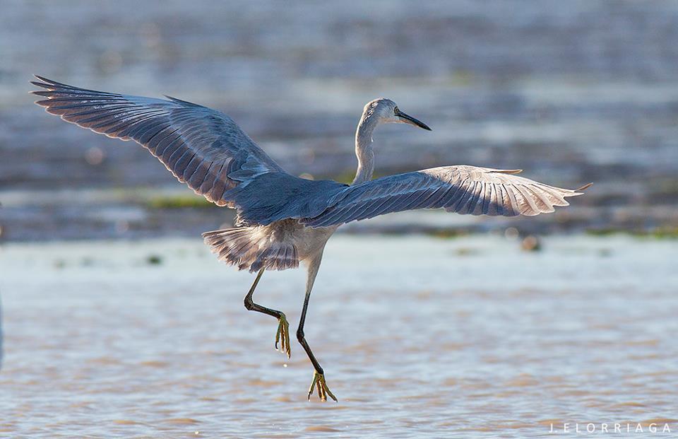 Presumed hybrid 'Western Reef Heron x Little Egret', Merja Zerga, Morocco, 4 Feb. 2013 (Javier Elorriaga).