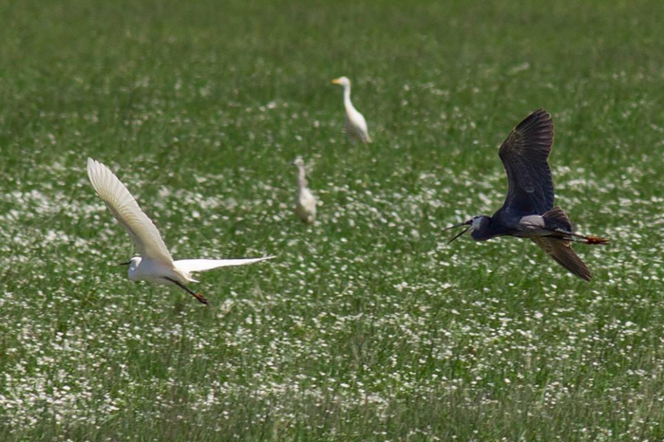 Presumed hybrid 'Western Reef Heron x Little Egret', Lower Loukkos marshes, Morocco, 18 April 2013 (Javier Elorriaga).