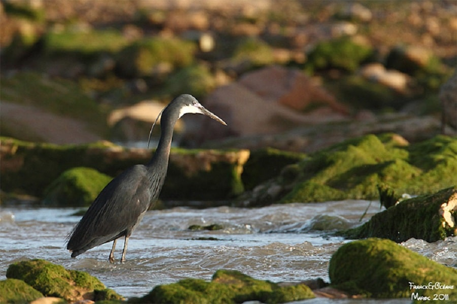 Western Reef Heron / Aigrette des récifs (Egretta gularis), Oued Ksob, Essaouira, Morocco (Franck et Océane Dupraz).