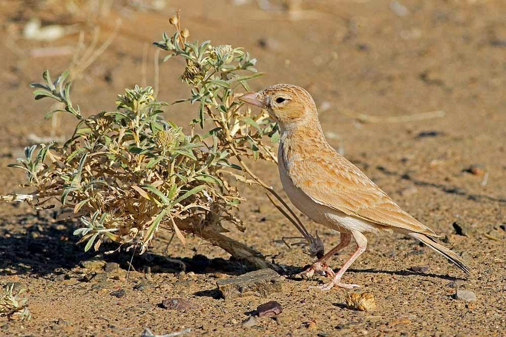 Dunn's Lark / Alouette de Dunn (Eremalauda dunni), near Merzouga, eastern Sahara, Morocco, 7 June 2012 (Paul French).