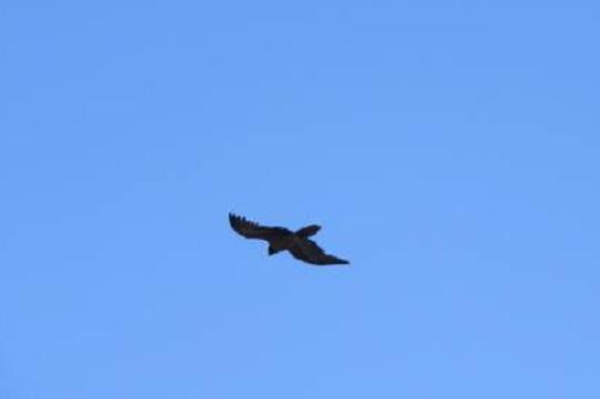 Bearded Vulture (Gypaetus barbatus), Jbel Toubkal, 22 July 2016 (photo: Ahmed Raha)