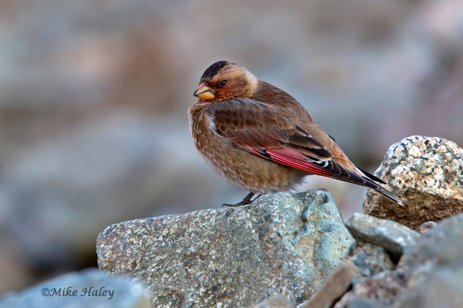 African Crimson-winged Finch / Roselin à ailes roses d'Afrique (Rhodopechys alienus), Oukaïmeden, High Atlas, Morocco (Mike Haley)
