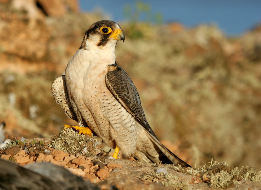 Adult male Barbary Falcon from Lanzarote, Canary Islands (Juan Sagardía).