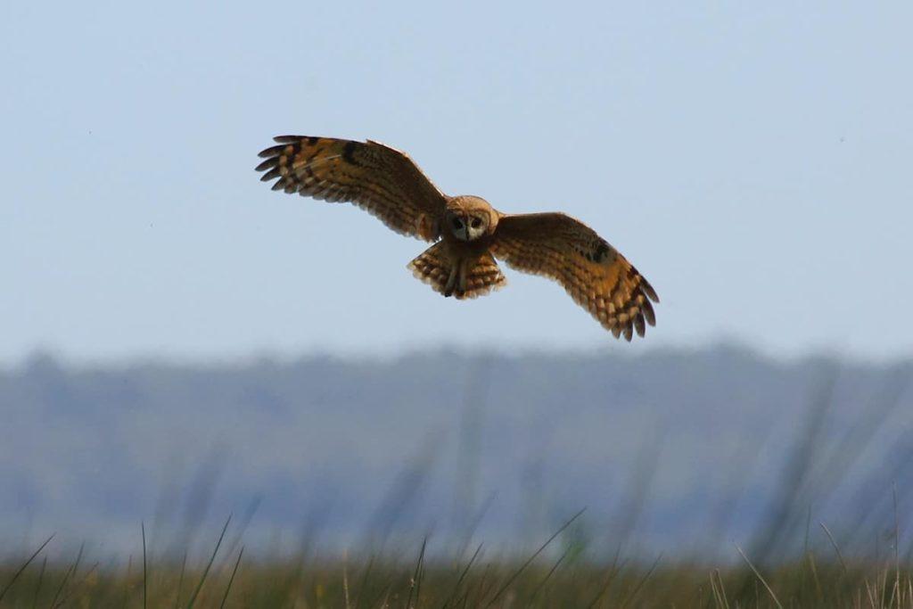Moroccan Marsh Owl (Asio capensis tingitanus), Merja Zerga (António Gonçalves).