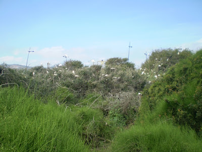 Part of Smir heronry, very few nests compared to 2011