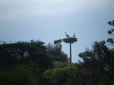 White Stork on a man-made nest platform at the edge of Smir heronry