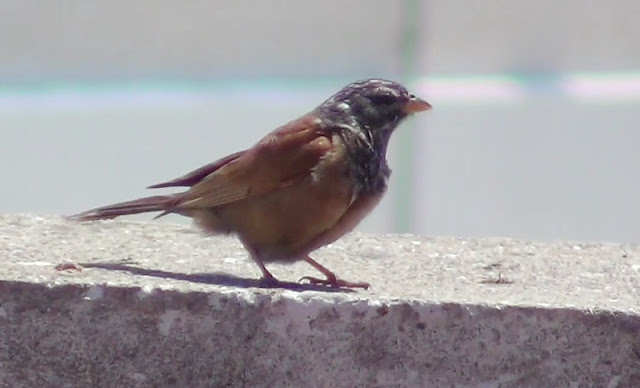 House Bunting (Emberiza sahari - Bruant du Sahara) near the Faculty of Sciences, Tétouan, June 2012. (Screen capture from a video by Yousef El Ouahabi)