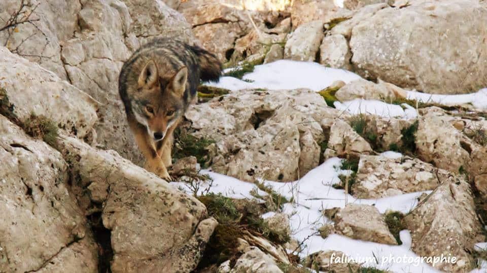 "African Golden Wolf / Loup doré africain (Canis anthus), Tikjda, Algeria (La vie sauvage en kabylie ""Kabylie wildlife"")"