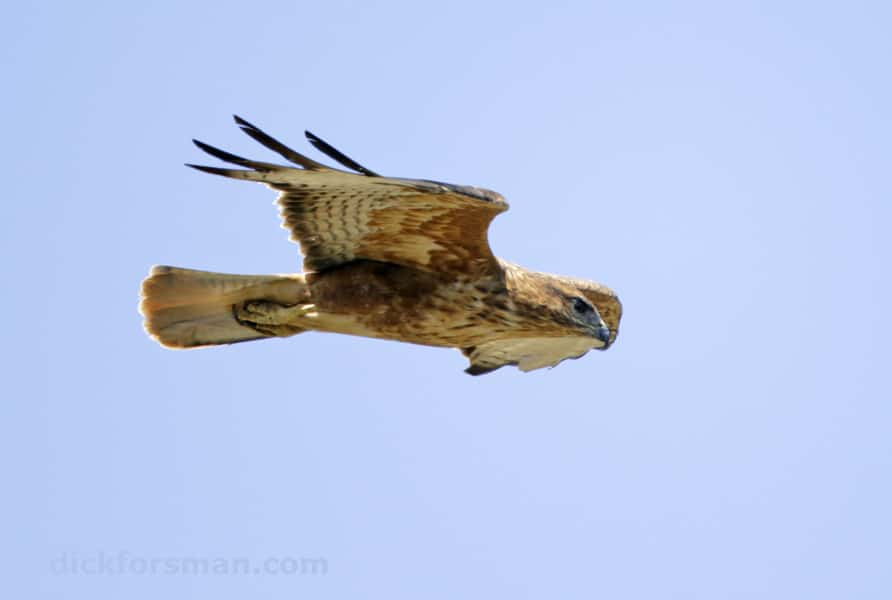 Adult breeding 'Gibraltar buzzard' at the southern shore of the Strait of Gibraltar