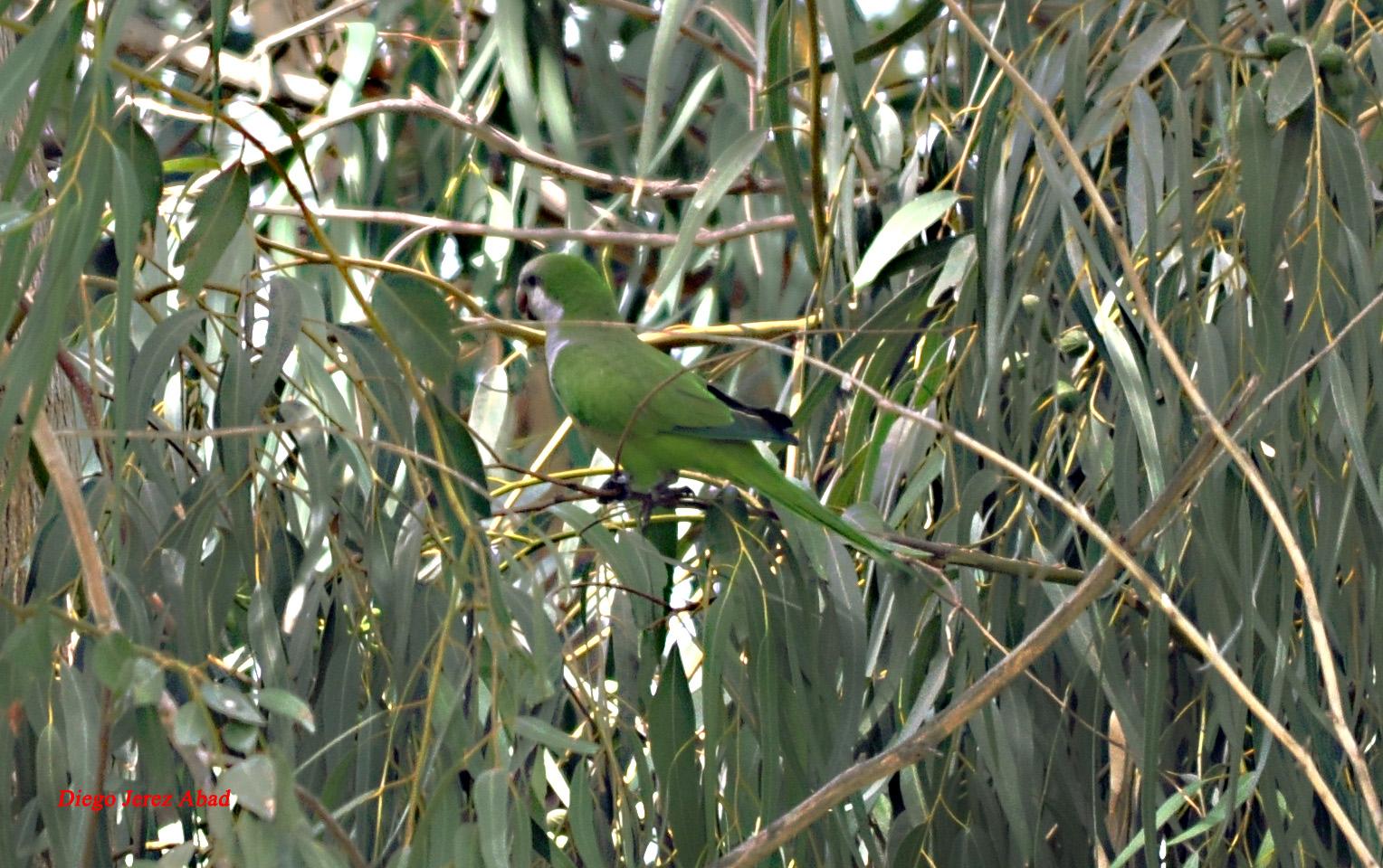 Monk Parakeet / Conure veuve (Myiopsitta monachus), Melilla, 13 Aug. 2012 (Diego Jerez Abad).