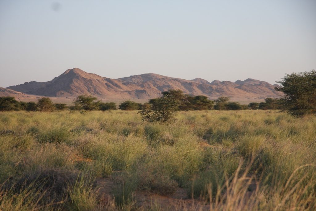 Typical habitat with Acacia raddiana and Panicum turgidum at Oued Jenna, Aousserd