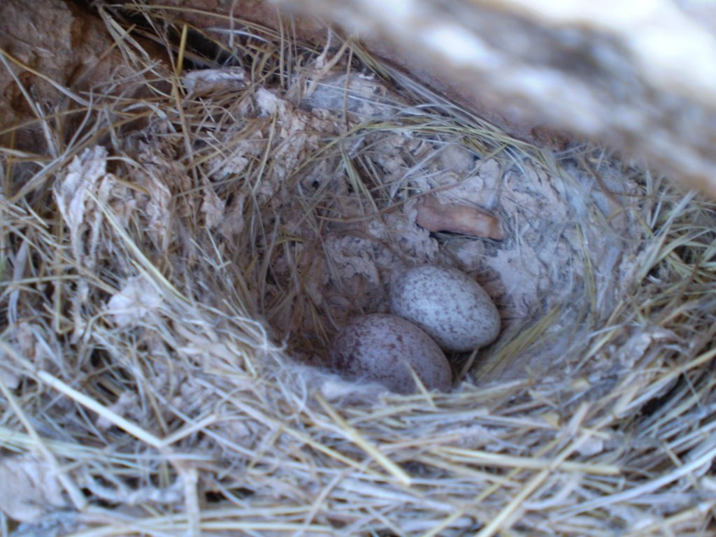 Nest of Desert Lark (Ammomanes deserti payni) with eggs (Mohamed Amezian).