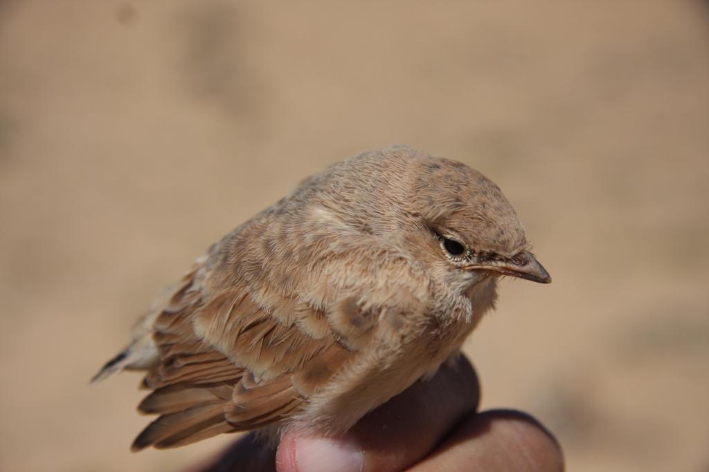 Unfledged juvenile of Desert Lark (Ammomanes deserti), Aousserd (Mohamed Radi).