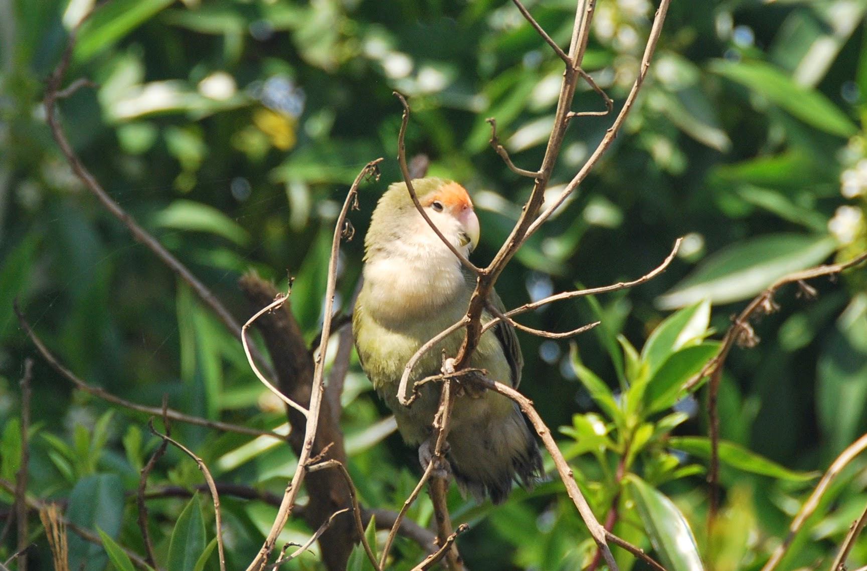 Rosy-faced Lovebird (Agapornis roseicollis – Inséparable rosegorge), Mohammedia, 7 April 2015 (Ines Beert)