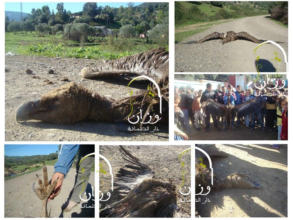 Vautours fauves (Gyps fulvus) persécutés par les élèves dans la région d'Ouazzane au nord du Maroc, novembre 2012. (Photo: Ouezzane Dar Dmana)