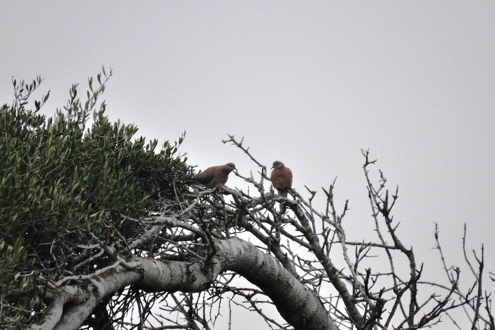 Pair of Laughing Dove (Spilopelia senegalensis), Tétouan, northern Morocco, 2 March 2013 (Rachid El Khamlichi).