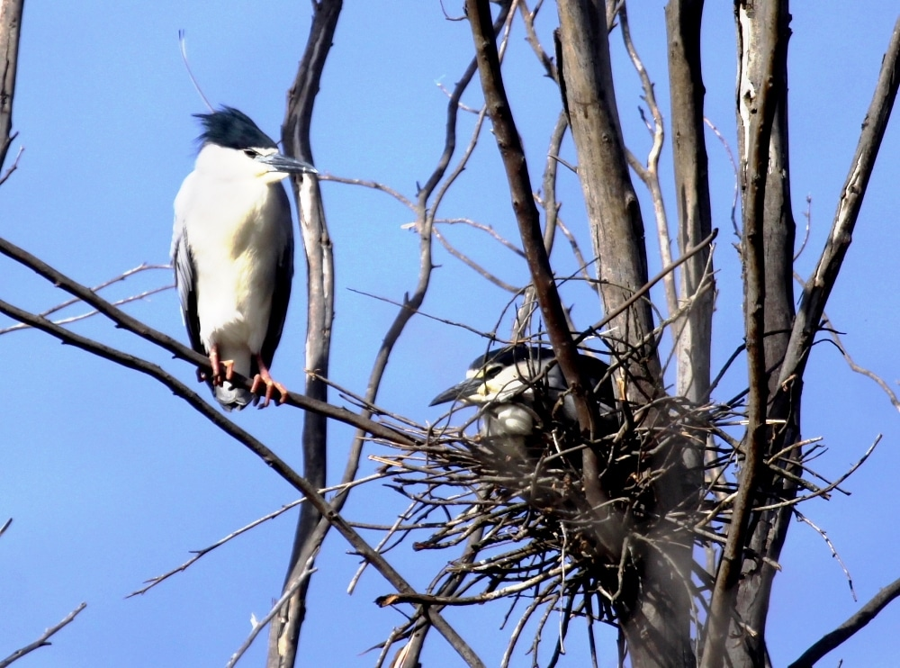 Black-crowned Night Heron (Nycticorax nycticorax), Dayet Erroumi heronry, Zemmour region, Morocco