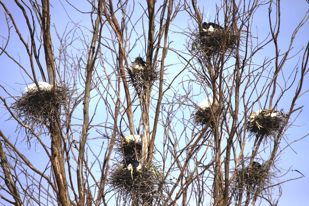Nests of Cattle Egret and Black-crowned Night Heron at the Dayet Erroumi heronry, Zemmour region, Morocco