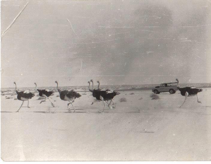 Red-necked Ostriches in the Western Sahara, southern Morocco, during the Spanish colonial era before the extinction of the species in the region // Autruches à cou rouge dans le Sahara occidental, sud du Maroc, pendant l'époque coloniale espagnole avant l'extinction de l'espèce de la région (Association 'Nature Initiative').