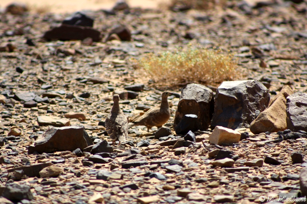 A pair of Lichtenstein's Sandgrouse (Pterocles lichtensteinii – Ganga de Lichtenstein), 12 Km NE of Lake Iriqui, Morocco, 7 May 2013 (Mohamed Mediani)