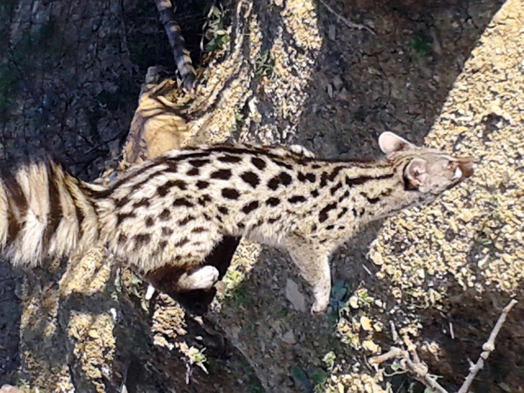 Genette commune (Genetta genetta) victime de l'ignorance, nord du Maroc.
