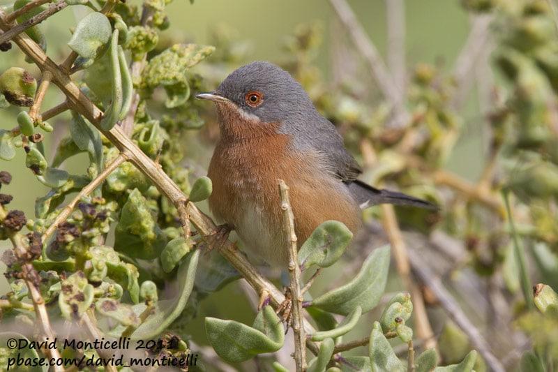 Western Subalpine Warbler (Sylvia inornata), Oued Massa, Morocco (David Monticelli)