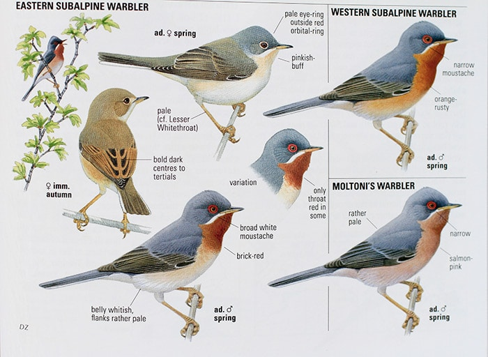 New treatment of the three 'Subalpine Warbler' species in the updated Collins Bird Guide