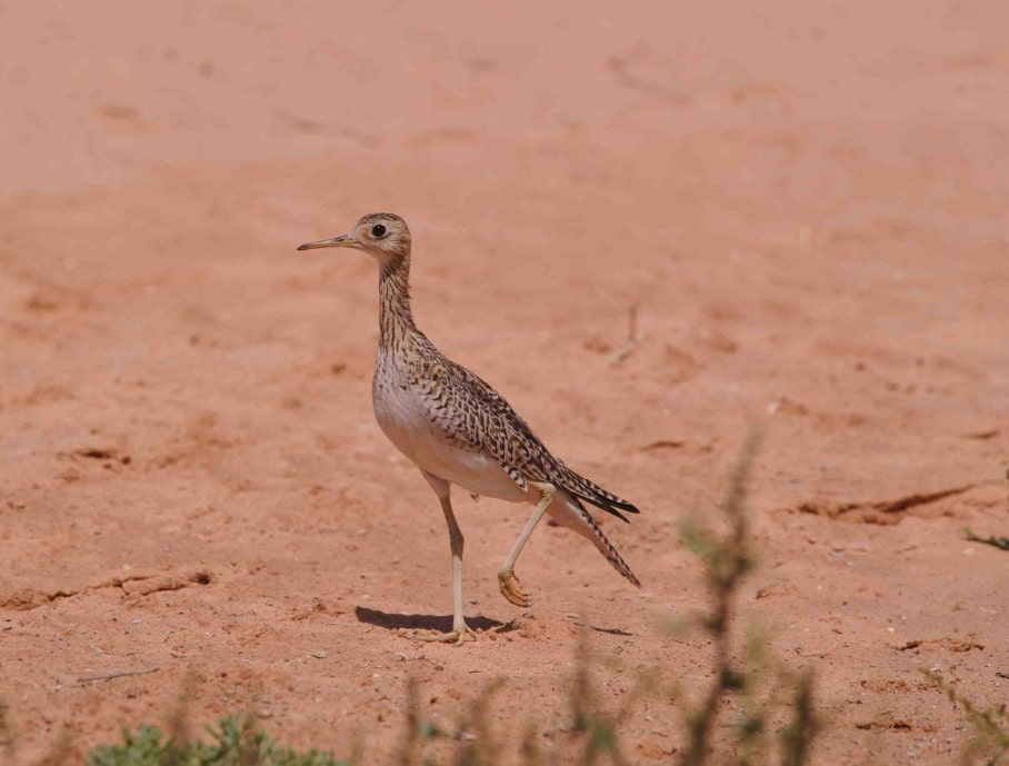Upland Sandpiper / Bartramie des champs (Bartramia longicauda), Dakhla, Western Sahara, Morocco, 11 Oct. 2013 (Franck Chevalier).