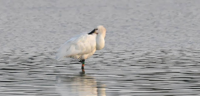 Eurasian Spoonbill colour-ringed in the Netherlands, seen at Oued Martil