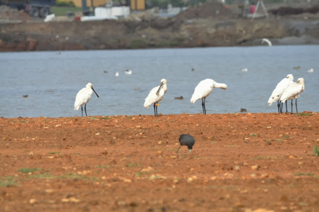 Eurasian Spoonbill colour-ringed in The Netherlands, seen at Smir lagoon