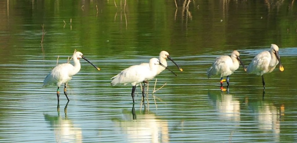 Two Eurasian Spoonbills colour-ringed in The Netherlands wintering together at Oued Martil, northern Morocco, 1 November 2013.